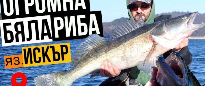 Трофейна бяла риба на язовир Искър
